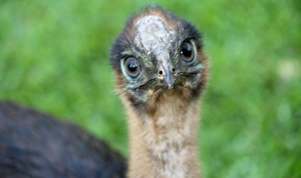 A very young cassowary chick looking right into the camera lens