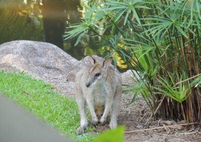 Wallaby-at-Lost-Paradise