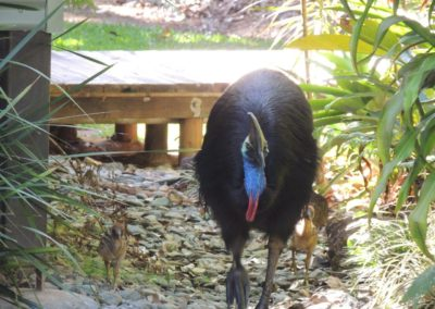 Cassowary-at-Lost-Paradise